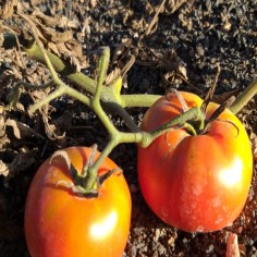 Tomate ensalada (500 g)